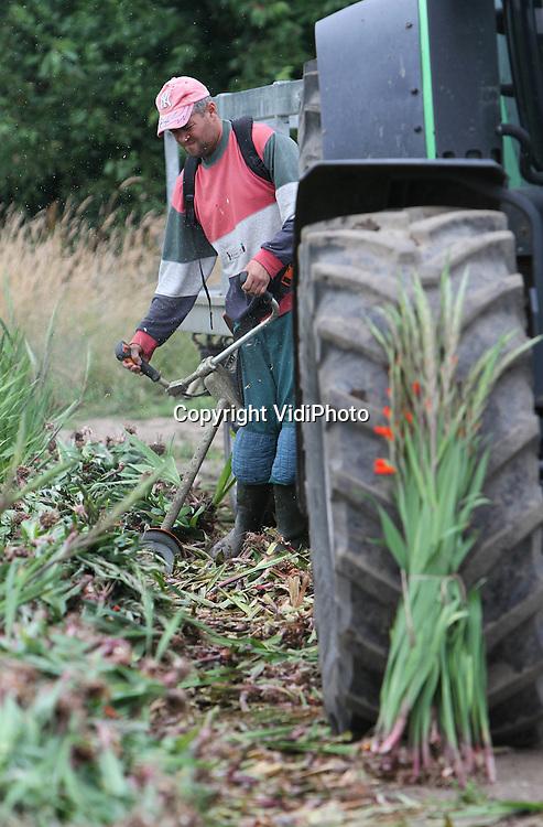 Foto: VidiPhoto..HEUMEN - Poolse werknemers van gladiolenkweker Theo Theunissen uit Heumen bij Nijmegen zijn maandag begonnen met de oogst van de gladiolen voor de Nijmeegse Vierdaagse, die volgende week dinsdag van start gaat. In totaal worden er ruim 250.000 takken gratis uitgedeeld op de Via Gladiola in Nijmegen aan de wandelaars. De Nijmeegse Vierdaagse is het grootste wandelevenement ter wereld. Theunissen heeft 18 hectare gladiolen, waarvan het grootste deel bestemd is voor de export naar de scandinavische landen. Theunissen oogst dit jaar 16 miljoen 'takken'. Door het aanhoudende natte weer is de gladiolenoogst dit jaar twee weken later begonnen dan andere jaren..