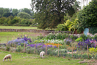 Lush flower cutting market garden on large scale with delphinium, bachelor buttons Centaurea, sweetpeas climbing teepee Lathyrus odoraus, cosmos, Icelandic Poppies Papaever, Euphorbia, with homemade wire fence, sarm animals heep grazing in field outside