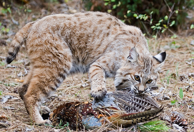 Bobcat pulling on wing of pheasant. - CA