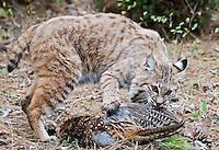 Bobcat pulling on wing of pheasant. - CA