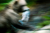 USA, Alaska, grizzly bear carrying salmon in motion, Redoubt Bay