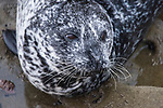 La Jolla Children's Pool, La Jolla, California; tight headshot of a grey and white spotted Harbor Seal (Phoca vitulina) laying on rocks on an overcast afternoon