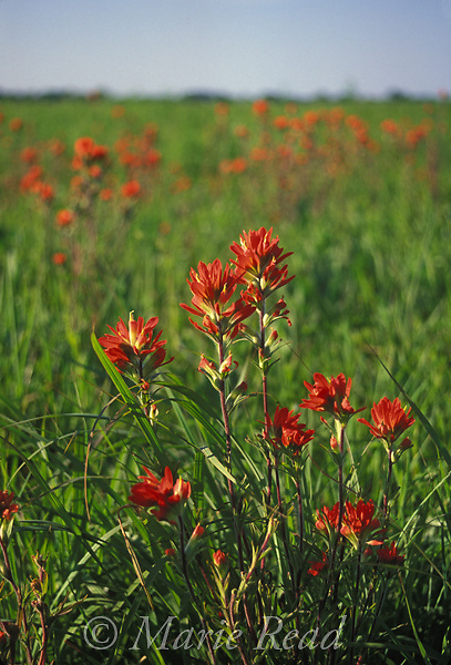 Indian Paintbrush (Castilleja coccinea) flowering in May, Taberville Prairie, Missouri, USA.<br />