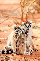 Ring-tailed Lemur (Lemur catta), mother with young, and a female adult, Berenty Reserve, Madagascar, Africa
