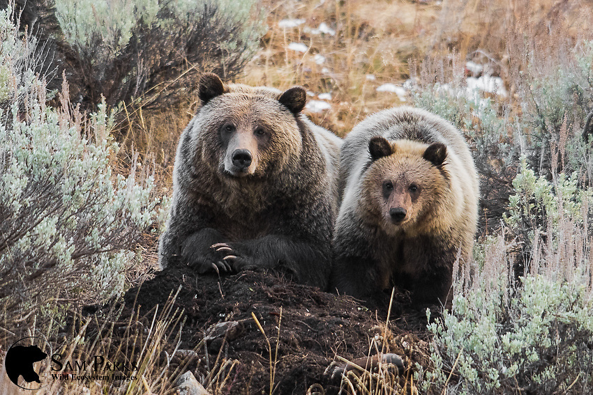 Grizzly bear sow and cub guarding cached carcass. Bridger-Teton National Forest, Wyoming.
