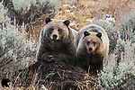 Grizzly Bears of Greater Yellowstone