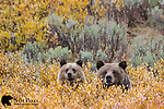 Grizzly bear sow and cub in willows. Bridger-Teton National Forest, Wyoming.