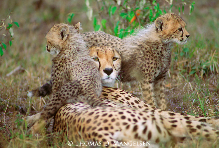 Cheetah family bed down during the midday heat.