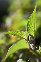 Europe/France/Provence-Alpes-Côte d'Azur/13/Bouches-du-Rhône/Env d'Arles/Le Sambuc: Sauge Ananas  dans le Potager bio du Restaurant Bio: La Chassagnette