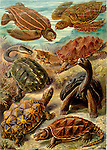 Chelonia (Turtles and Tortoises), by Ernst Haeckel, 1904