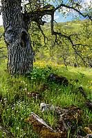 Oregon White Oak & Oregon
