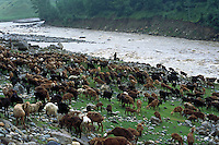 Flock grazing along the river