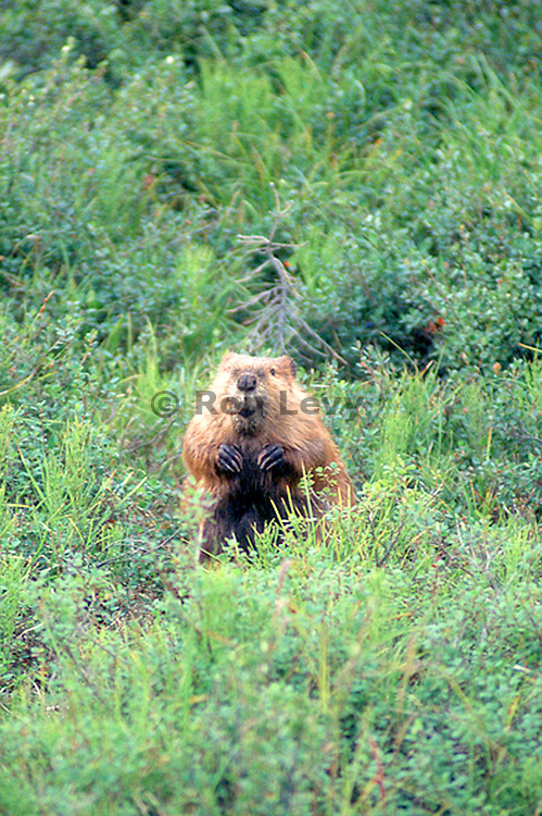 Beaver, Denali National Park, Alaska
