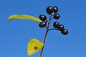Wild Privet berries {Ligustrum vulgare} Plitvice Lakes National Park, Croatia. November.