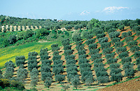 "Europa EU Italien Kalabrien Rossano .Olivenbaum Plantage und schneebedeckte Berge Gebirge - Wirtschaft Landwirtschaft Olive Oliven Berge Berg Schnee Anbau Felder feld Olivenhain Olivenbaeume xagndaz | .Europe Italy Calabria Rossano .olive tree plantation and snow covered mountains - agriculture farming olive tree field farrm .| [ copyright (c) Joerg Boethling / agenda , Veroeffentlichung nur gegen Honorar und Belegexemplar an / publication only with royalties and copy to:  agenda PG   Rothestr. 66   Germany D-22765 Hamburg   ph. ++49 40 391 907 14   e-mail: boethling@agenda-fototext.de   www.agenda-fototext.de   Bank: Hamburger Sparkasse  BLZ 200 505 50  Kto. 1281 120 178   IBAN: DE96 2005 0550 1281 1201 78   BIC: ""HASPDEHH"" ,  WEITERE MOTIVE ZU DIESEM THEMA SIND VORHANDEN!! MORE PICTURES ON THIS SUBJECT AVAILABLE!! ] [#0,26,121#]"