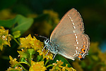 False Ilex Hairstreak Butterfly, Satyrium esculi, side view on flower, Provence.France....