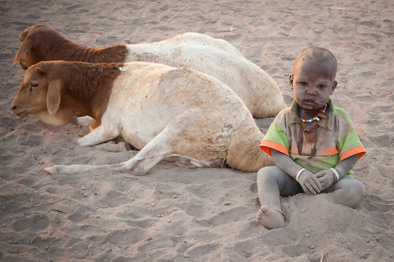 """A small child plays among the livestock, which is a measure of wealth for the Maasai tribe. They keep goats, sheep and donkeys but cattle are by by far the most valued of their livestock possessions. Maasai believe that all cattle were gifted to them by their God.  Virtually all social roles and status derive from the relationship of individuals to their cattle. """"I hope your cattle are well"""" is a common Maasai greeting.  Cow's milk and blood are the staple foods of the Masai who eat no fruit or grain. Cattle is used as a dowry in """"purchasing"""" their wives.  Warriors, or morans, are bestowed with the honor of caring and protecting the cattle. During times of drought, the morans  may have to walk the animals hundreds of kilometers away from their village in search of pasture.  ."""