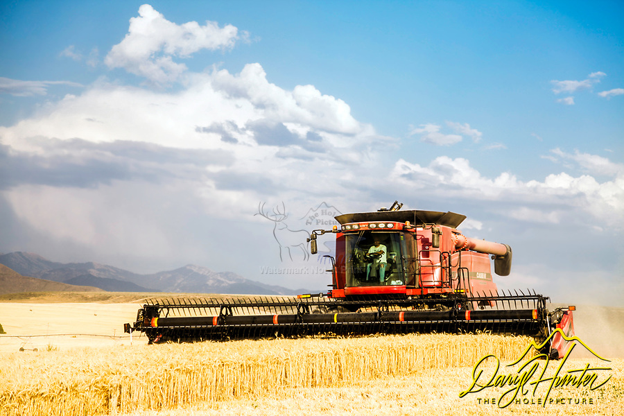 A combine and operator harvesting grain on the dry farms of Eastern Idaho in Ririe Idaho.