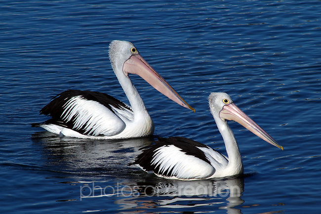 Parent & Child<br /> Australian Pelican - pelicanus conspicillatus