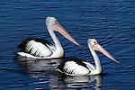 Parent &amp; Child<br /> Australian Pelican - pelicanus conspicillatus