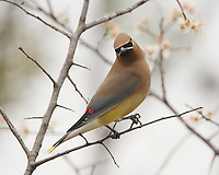 Cedar Waxwing in early March. Native Texas Flowering Dogwood Tree.