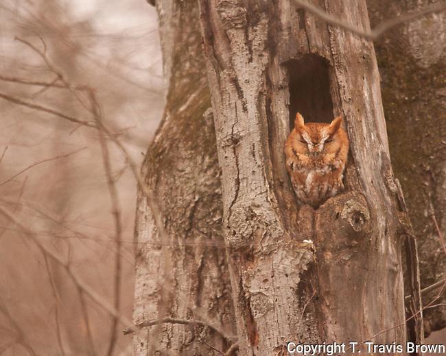 Eastern Screech Owl Rests in Tree Cavity