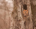 Eastern Screech Owl Rests in Tree Cavity
