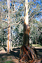 Blakely's Red Gum (Eucalyptus blakelyi) tree struck by lightning. Mulligan's Flat Nature Reserve, Canberra, Australian Capital Territory