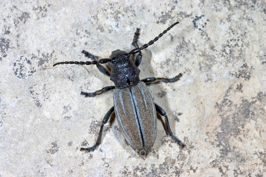Variabler Erdbock, Grauflügeliger Erdbock, Erdbockkäfer, Erd-Bock, Erd-Bockkäfer, Dorcadion fuliginator, Iberodorcadion fuliginator, grass-feeding beetle, Flightless Longhorn Beetle