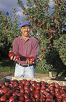 Apple grower with bin of apples. Yakima Co. WA. MR