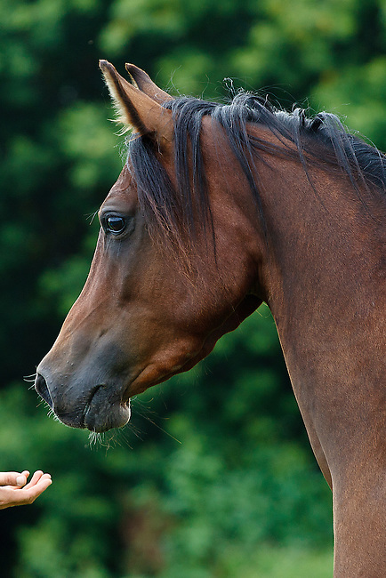 Human hand reaching out to bay Arabian horse in profile