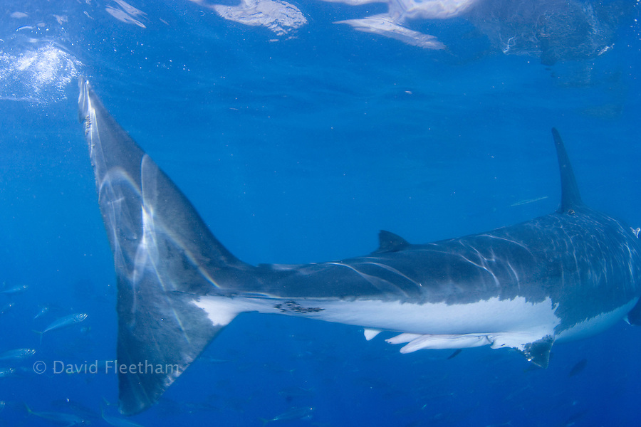 Great White Shark Reproduction | Male Great White Shark Carcharodon Carcharias Mexico David