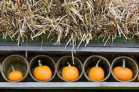 Pumkins in baskets. Al's Garden Nursery, Oregon