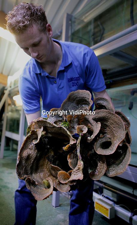 ARNHEM - Een medewerker van Burgers' Zoo in Arnhem toont vrijdag een 6 jaar oud koraal. Het koraal is opgegroeid in de kweekruimte van Burgers' Ocean en is daar gegroeid van een slechts 7 cm. koraaltje naar een gevaarte van  60 cm en ruim 4 kg zwaar. Jaarlijks worden zo'n 200 zelfgekweekte koralen uitgezet op het Arnhemse rif, maar nog nooit is zo'n groot stuk uit de eigen kweek geoogst. Het levendkoraalrifaquarium van Burgers' is uniek in de wereld. Het kweken van levend koraal is noodzakelijk om te voorkomen dat koralen uit de natuur worden gebruikt voor aquaria. Koralen hebben daarnaast zwaar te lijden onder de klimaatverandering, zoals het Great Barrier Reef, een groot koraalrif voor de kust van Australië. Door opwarming van het zeewater is de aangroei van nieuw koraal op het rif gedaald naar het laagste punt in 400 jaar.