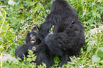 Mountian Gorillas Playing