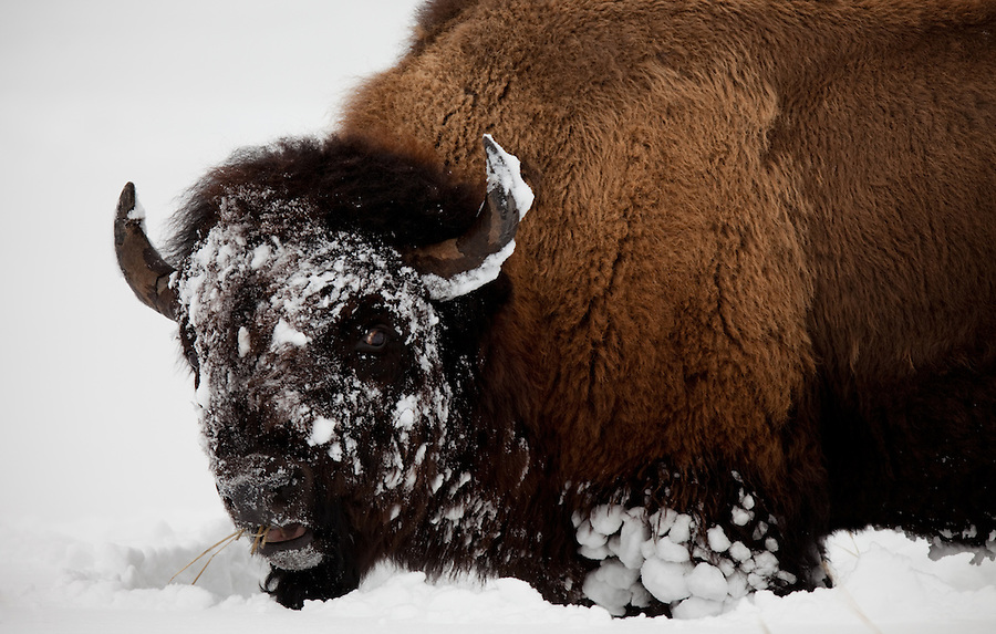 An individual buffalo looks toward the photographer in the distance with one eye while eating grasses it has uncovered from the snow in Yellowstone National Park.