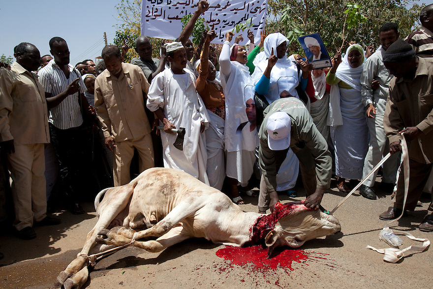 28 april 2010 - Karthoum, Sudan - A cow is slaughtered during a traditional ritual to honour and bless Sudan's President Omar Hassan al-Bashir at a rally at the Ministry of the Council of Ministers in Khartoum.Sudan's president Omar al-Bashir won another term in office on Monday, according to election officials, with a comfortable majority (68 percent of the vote ) in elections marred by boycotts and fraud allegations, becoming the first leader to be elected while facing an international arrest warrant for alleged crimes he orchestrated in the western region of Darfur. The elections take place as Sudan heads toward a referendum in eight months that could lead South Sudan to split off and become Africa's newest nation. Photo credit: Benedicte Desrus