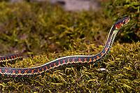 Common Garter Snake (Thamnophis sirtalis) or Red-spotted Garter Snake, Pacific Northwest.