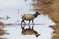 01980-02810 Elk (Cervus elaphaus) cow female crossing stream, Yellowstone National Park, WY