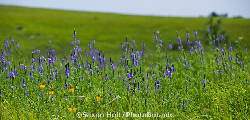 Verbena stricta Hoary verbena, Hoary vervain blue flowering wildflower in Nature Conservancy Tallgrass Prairie Preserve, Oklahoma