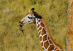 reticulated giraffe juvenile eating