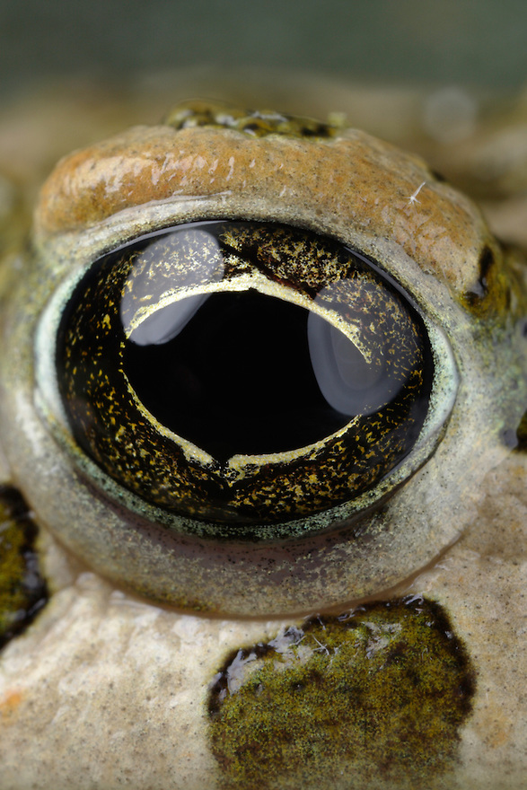European Green Toad, Bufo viridis. <br /> Stenje region, Lake Macro Prespa (850m) <br /> Galicica National Park, Macedonia, June 2009<br /> Mission: Macedonia, Lake Macro Prespa /  Lake Ohrid, Transnational Park<br /> David Maitland / Wild Wonders of Europe