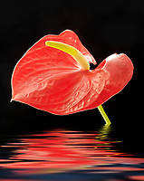 Anthurium or Flamingo Flower iwith water reflection.