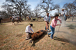 Cattle marking, branding and doctoring, Busi Ranch, Amador County, Calif.