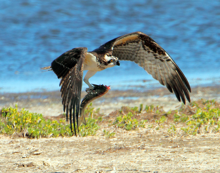 This osprey was eating a catfish when a turkey vulture tried to get in on the meal; so the osprey flew off