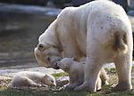 Netherlands, Nederland, Rhenen, Ouwehands Dierenpark Ijsbeertje twee ling voor het eerst naar buiten.. foto's Michael Kooren/HH.Sinds drie jaar staat de ijsbeer op de lijst van zeer bedreigde diersoorten. De ijsbeer is met name op deze lijst terecht gekomen vanwege de gevolgen van de klimaatverandering..Moeder Freedom likt de jonkies schoon.