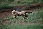 Cheetah cub running, Kenya, Africa