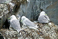 Black-legged kittiwakes with young, Passage canal, Western Prince William Sound, Alaska