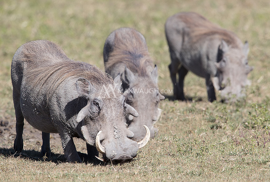 A family of warthogs shows off the species' typical feeding technique of kneeling to the ground to graze.