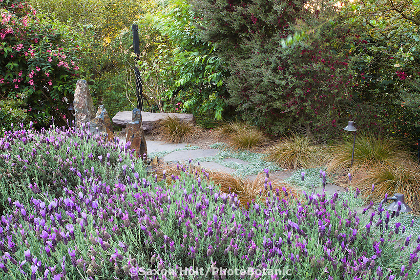 Purple flowering spanish lavender groundcover in California backyard garden with path and shrubs; Roth-Epstein garden